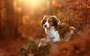 Обои собака, Коикерхондье, осень, листья