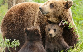 Картинка медведи, медвежата, медведица, детёныши