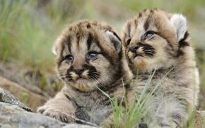 Обои взгляд, тигрята, тигр