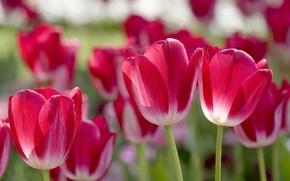 Картинка лепестки, размытость, тюльпаны, розовые