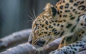 Картинка морда, хищник, профиль, мех, дикая кошка, зоопарк, амурский леопард, дальневосточный леопард
