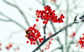 Обои рябина, снег, осень, ветка, ягоды