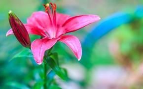 Обои сад, лепестки, лилия, листья