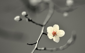 Картинка flower, cherry blossom, petals, branch, buds