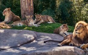 Картинка лето, трава, кошки, природа, камни, отдых, тень, лев, семья, дикие кошки, львята, львица, лежат, родители, ...