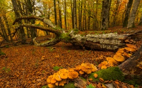 Картинка осень, лес, деревья, грибы, мох, Испания, Страна Басков, Urabain