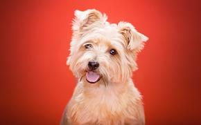Картинка язык, фон, Йоркширский терьер, взгляд, собака