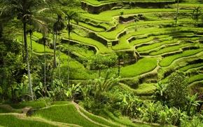 Картинка green mountains, planting, rice crops