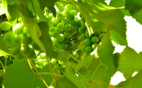 Картинка зеленый, виноград, фрукты