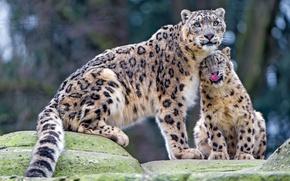 Обои язык, взгляд, кошки, камни, котенок, нежность, малыш, ласка, снежный барс, дикие кошки, забота, детеныш, зоопарк, ...