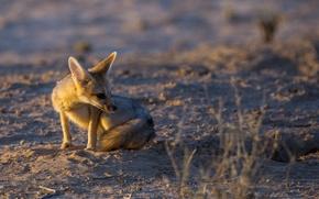Картинка свет, природа, Cape Fox