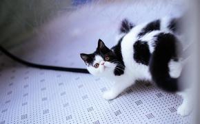 Картинка кошка, поза, отражение, котенок, черно-белый, перс, экстремал, дикий взгляд