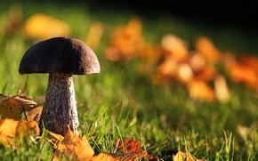 Картинка осень, лес, трава, листва, гриб
