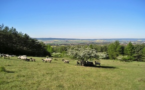 Картинка hills, spring, sheeps