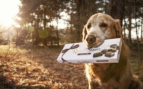 Картинка фон, собака, конфеты
