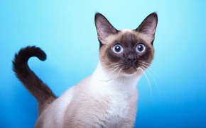 Картинка кот, фон, мордочка, хвост, порода, сиамская, взгляж