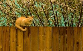 Картинка кот, дерево, забор, весна, рыжий, котэ