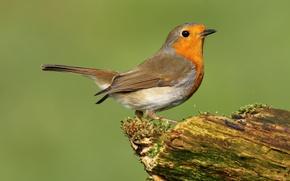 Картинка птица, перья, клюв, хвост