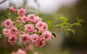 Картинка цветы, ветка, природа, куст, розовые, розы