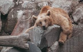 Картинка животное, медведь, bear, animals, зоопарк, бурый, zoo