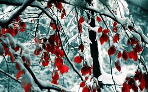 Картинка снег, деревья, ветви, красные листья