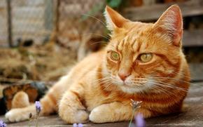 Картинка кот, усы, отдых, лапы, размытость, рыжий, хвост, cat, котяра, боке, wallpaper., строг, задумчив, природу, созерцает