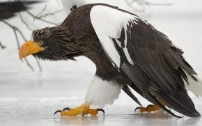 Картинка лед, походка, побережье Курильского озера, Южно-Камчатский федеральный заказник, Белоплечий (тихоокеанский) орлан (Haliaeetus pelagicus)