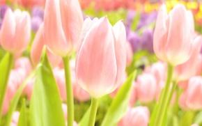 Картинка белый, лето, цветы, желтый, розовый, нежный, фокус, весна, тюльпаны, нежные, широкоформатные обои, обои на рабочий ...