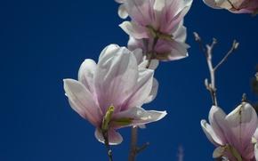 Картинка небо, бутоны, розовые цветы, на фоне неба