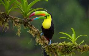 Картинка дождь, птица, ветка, джунгли, Радужный тукан