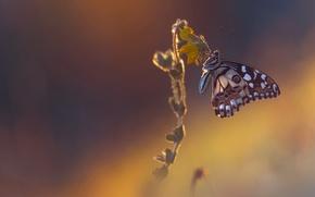 Картинка цветок, макро, фон, бабочка, обои от lolita777