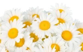 Картинка цветы, ромашки, весна, white, белые, flowers, beauty, spring, Camomile, freshness