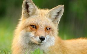 Картинка лето, трава, морда, животное, шерсть, лиса, рыжая, fox