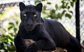Обои чёрный леопард, пантера, дикая кошка