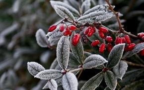 Картинка зима, иней, листья, природа, ягоды, растение, ветка, мороз, плоды, изморозь