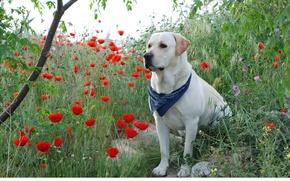 Картинка белый, маки, пес, лабрадор