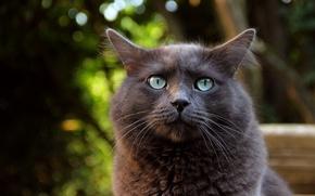 Картинка кот, взгляд, макро, фон, животное, уши, зеленве глаза