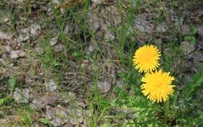 Картинка лес, трава, цветы, желтый, весна, одуванчики