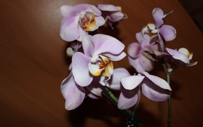Картинка цветок, орхидея, ветка орхидеи