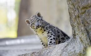 Картинка кошка, взгляд, ирбис, снежный барс, детёныш, котёнок, ©Tambako The Jaguar