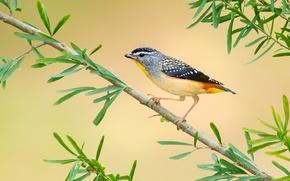Картинка перья, ветка, Австралия, хвост, леопардовая радужная птица