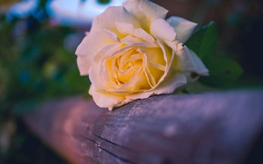 Картинка роза, лепестки, бутон, бревно, боке