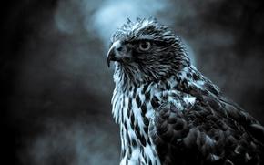 Картинка серый, птица, сокол