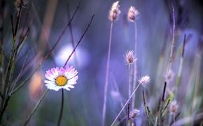Картинка цветок, растения, ромашка, травинки, бело-розовый