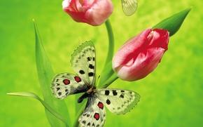 Обои цветы, зеленый, бабочка, тюльпан