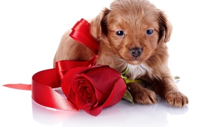 Картинка лицо, роза, собака