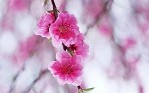 Картинка цветы, ветка, розовые, цветение