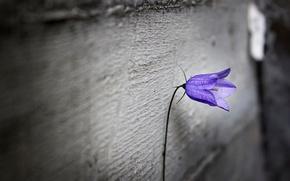 Картинка фиолетовый, цветы, одиночество, фон, обои, размытие, wallpaper, flower, широкоформатные, background, полноэкранные, HD wallpapers, цветочек, широкоэкранные