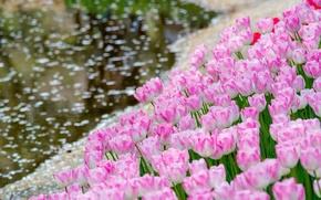 Картинка вода, тюльпаны, бутоны