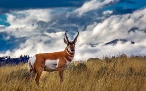 Картинка поле, небо, трава, облака, рога, Йеллоустоун, Yellowstone National Park, Вилорог